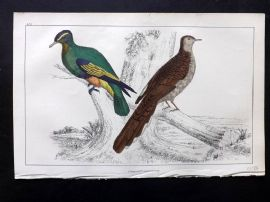 Goldsmith C1850 Hand Col Bird Print. Purple Crowned & Red-Collared Pigeon